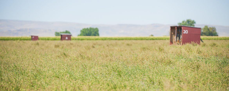 An Alfalfa Seed Field